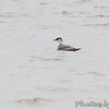 Long-tailed Jaeger <br /> Horseshoe Lake <br /> Illinois <br /> 4/17/15
