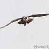 Long-tailed Jaeger <br /> Horseshoe Lake <br /> Illinois <br /> 4/19/15