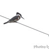 Belted Kingfisher <br /> Hwy N at intersection of Big Box Road <br /> Winfield, MO