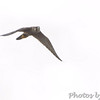 Peregrine Falcon <br /> Hwy N at intersection of Big Box Road <br /> Winfield, MO