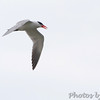 Caspian Tern <br /> Hwy N at intersection of Big Box Road <br /> Winfield, MO