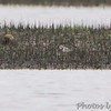 Piping Plover <br /> Hwy N at intersection of Big Box Road <br /> Winfield, MO