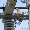 Western Kingbird on nest <br /> Bridgeton Municipal Athletic Complex (BMAC) <br /> Bridgeton, Missouri
