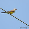 Western Kingbird <br /> Fee Fee Road just South of McDonnell Blvd. <br /> Hazelwood, Missouri