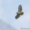 Red-tailed Hawk <br /> Hazelwood on Industrial Dr between <br /> Lindbergh and Fee Fee Rd