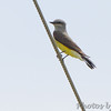 Returning back south found 2nd Western Kingbird <br /> Prouhet Farm Road <br /> Behind Bridgeton Municipal Athletic Complex (BMAC) <br /> Bridgeton, Missouri