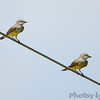 Western Kingbirds <br /> Hazelwood on Industrial Dr between <br /> Lindbergh and Fee Fee Rd