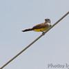 1st Western Kingbird <br /> On wires along Prouhet Farm Road <br /> Behind Bridgeton Municipal Athletic Complex (BMAC) <br /> Bridgeton, Missouri