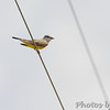 Western Kingbird <br /> Ferguson Lane <br /> West end of flooded area <br /> Bridgeton