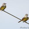 Western Kingbirds <br /> Hazelwood on Industrial Dr between <br /> Lindbergh and Fee Fee Rd.