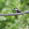 Belted Kingfisher <br /> Ferguson Lane <br /> East end of flooded area <br /> Bridgeton