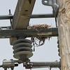 Western Kingbird nest <br /> Bridgeton Municipal Athletic Complex (BMAC) <br /> Bridgeton, Missouri