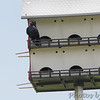 Purple Martin <br /> Prouhet Farm Road <br /> Behind Bridgeton Municipal Athletic Complex (BMAC) <br /> Bridgeton, Missouri