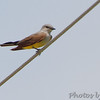 1st Western Kingbird <br /> On wires along Prouhet Farm Road <br /> Behind Bridgeton Municipal Athletic Complex (BMAC) <br /> Bridgeton, Missouri