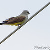 Western Kingbird <br /> Prouhet Farm Road <br /> Behind Bridgeton Municipal Athletic Complex (BMAC) <br /> Bridgeton, Missouri