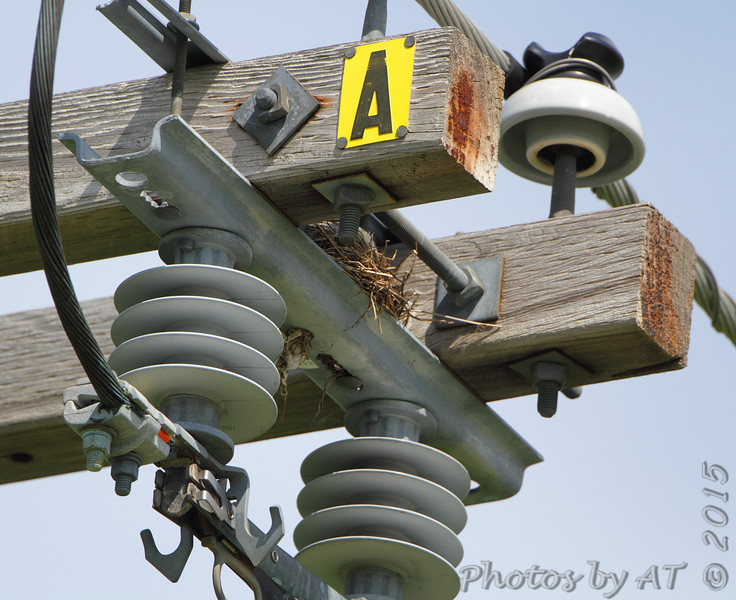 Western Kingbird nest <br /> Fee Fee Road just South of McDonnell Blvd. <br /> Hazelwood, Missouri