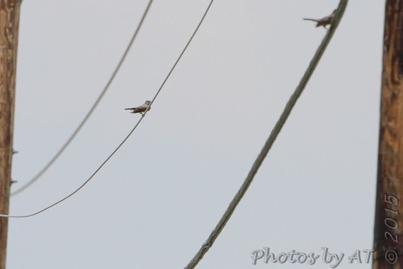 2nd Western Kingbird <br /> While shooting 1st one I could see another farther down the road <br /> Prouhet Farm Road <br /> Behind Bridgeton Municipal Athletic Complex (BMAC) <br /> Bridgeton, Missouri