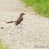 Northern Mockingbird <br /> Creve Couer Marsh <br /> 6/30/15