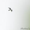Mississippi Kite  <br /> Creve Couer Marsh <br /> 6/28/15