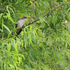 Yellow-billed Cuckoo <br /> Creve Couer Marsh <br /> 6/30/15