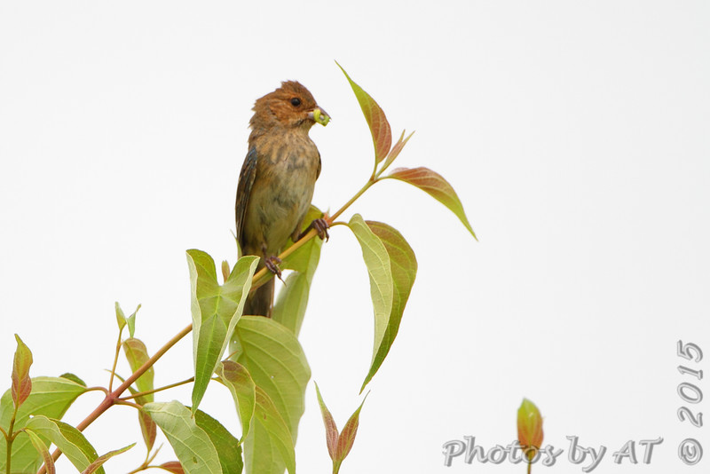 Indigo Bunting  <br /> Creve Couer Marsh <br /> 6/30/15
