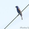 Blue Grosbeak <br /> Creve Couer Marsh <br /> 6/20/15