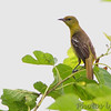 Oriole sp. female <br /> Creve Couer Marsh <br /> 6/30/15