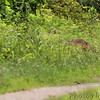 Coyote <br /> Creve Couer Marsh <br /> 6/30/15