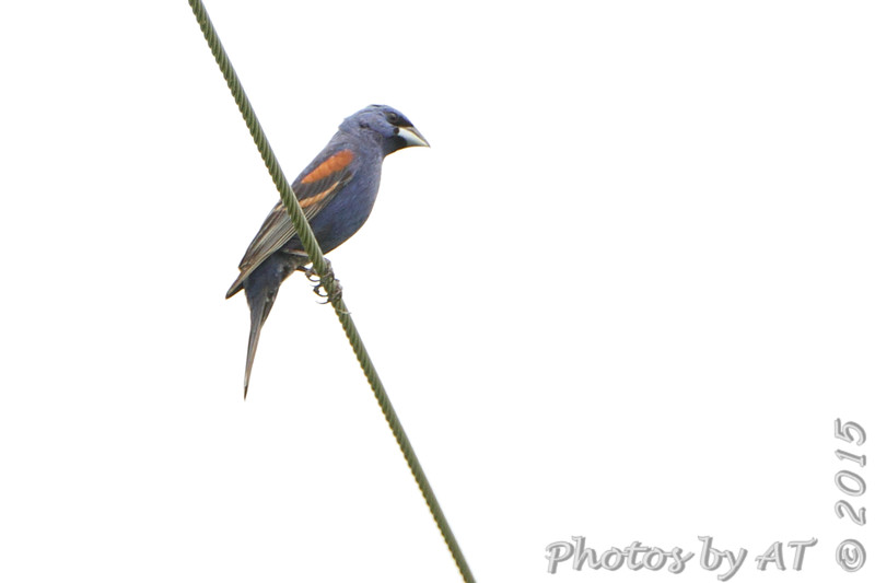 Blue Grosbeak <br /> Creve Couer Marsh <br /> 6/30/15