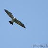 Mississippi Kite  <br /> Creve Couer Marsh <br /> 6/20/15