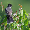 Eastern Kingbird <br /> Creve Couer Marsh <br /> 6/20/15