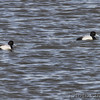 Lesser Scaup <br /> Mississippi River below bridge <br /> Riverlands Migratory Bird Sanctuary