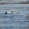 "American Coot ""leucistic"" <br /> Heron Pond <br /> Riverlands Migratory Bird Sanctuary"