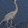 Great Blue Heron <br /> Ellis Bay <br /> Riverlands Migratory Bird Sanctuary