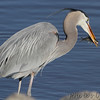 Great Blue Heron <br /> Ellis Bay <br /> Riverlands Migratory Bird Sanctuary