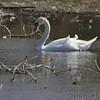 Mute Swan <br /> Ellis Island Parking Lot Bay <br /> Riverlands Migratory Bird Sanctuary