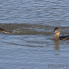 Pied-billed Grebe <br /> Ellis Bay <br /> Riverlands Migratory Bird Sanctuary