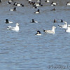 Barrow's Goldeneye <br /> Carlyle Lake <br /> Clinton County, Illinois