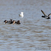 Lesser Scaup <br /> Carlyle Lake <br /> Clinton County, Illinois
