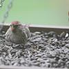 Common Redpoll <br /> Bridgeton, MO <br /> 3/24/15 12:24pm