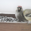 Common Redpoll <br /> 1st photo after a quick view of something odd <br /> Bridgeton, MO <br /> 3/24/15 10:32am