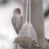 Common Redpoll <br /> Last photo at 12:28 <br /> Bridgeton, MO <br /> 3/24/15