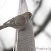 Common Redpoll <br /> Bridgeton, MO <br /> 3/25/15