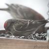 Common Redpoll <br /> Bridgeton, MO <br /> 3/24/15