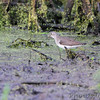 Solitary Sandpiper <br /> B K Leach Conservation Area