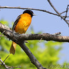 Baltimore Oriole <br /> B K Leach Conservation Area