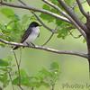 Eastern Kingbird <br /> Clarence Cannon National Wildlife Refuge