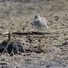 Lesser Yellowlegs <br /> B K Leach Conservation Area