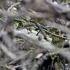 Northern Waterthrush <br /> Clarence Cannon National Wildlife Refuge