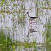 Black-necked Stilt <br /> Clarence Cannon National Wildlife Refuge